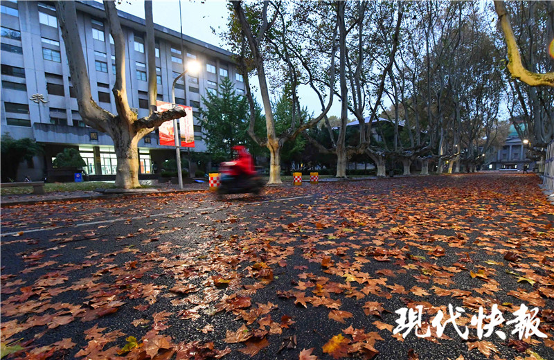 """东南大学的中央大道上铺上了""""梧桐叶牌""""的地毯"""