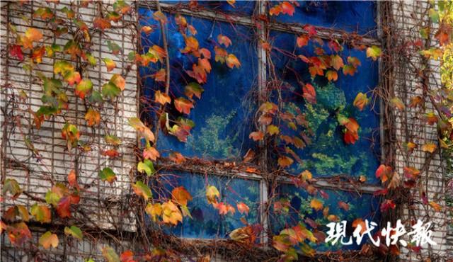 南京爬山虎 悄悄红了脸