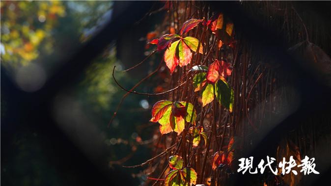 """爬山虎从春夏""""爬""""到秋冬 (赵杰/摄)"""