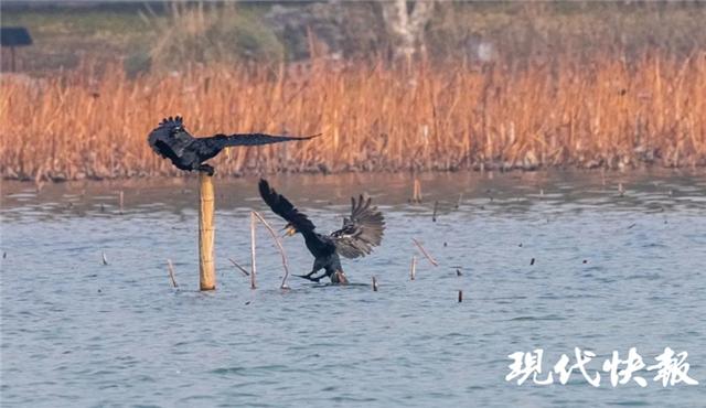 越冬精灵来了!玄武湖成候鸟天堂