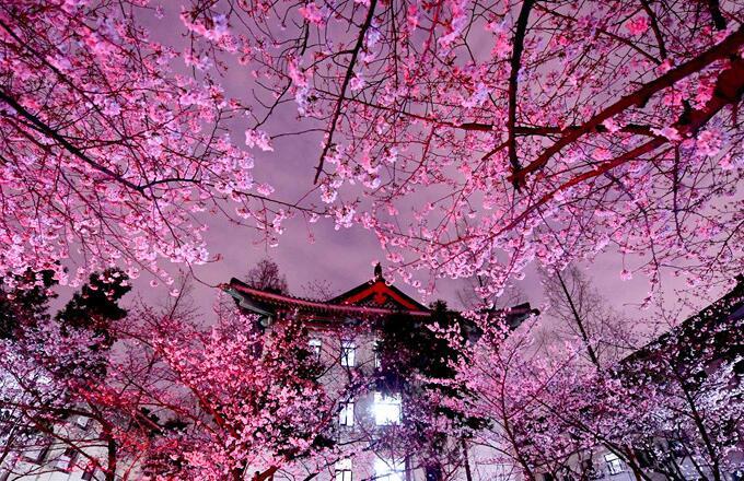 南京鸡鸣寺路夜樱 春夜不容错过的美丽