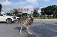 街头惊现巨大鸵鸟 与汽车抢车道!网友:你也要赶早高峰